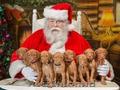 Лучший подарок к Новому году - щенок венгерской легавой/выжлы!